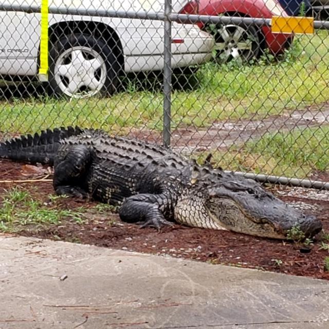 large gator in SC_1559825756534.jpg.jpg