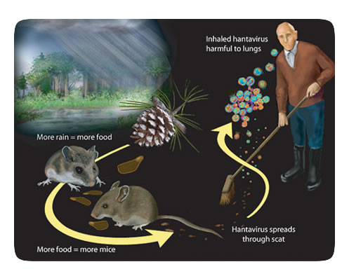 Precautions for avoiding deadly hantavirus