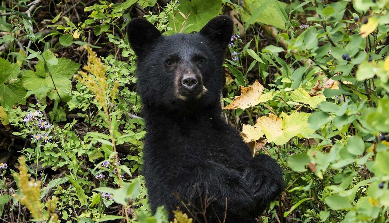 Black bear generic_344698