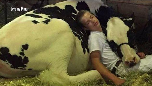 cow nap_437276