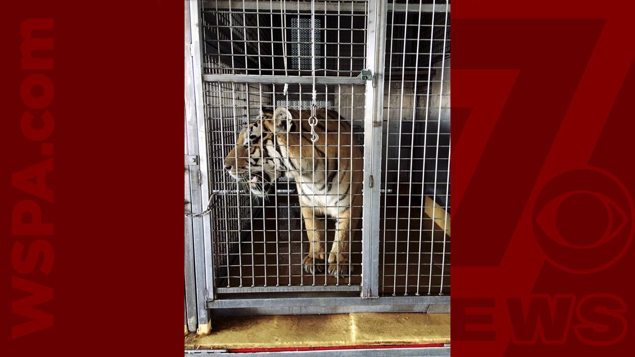 tiger-WEB_453328