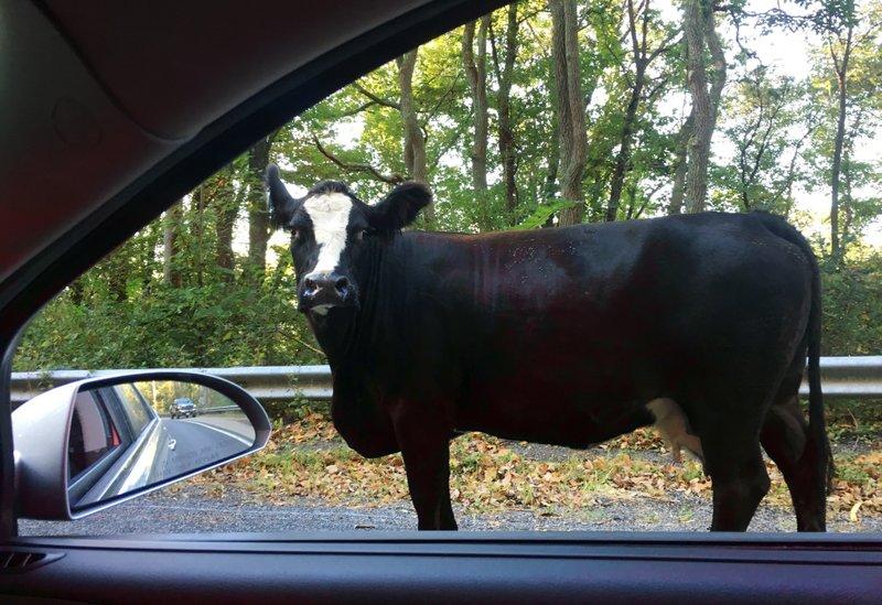 cow_467487