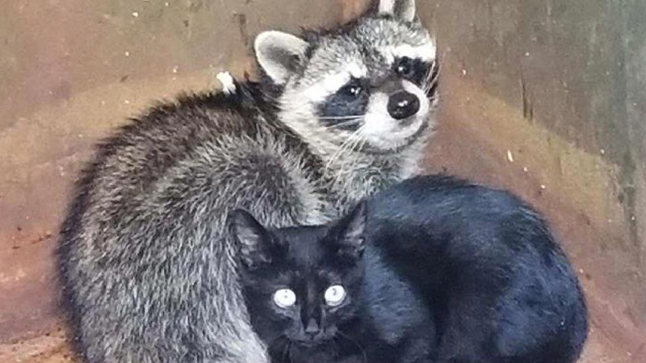 raccoon-kitten_474811