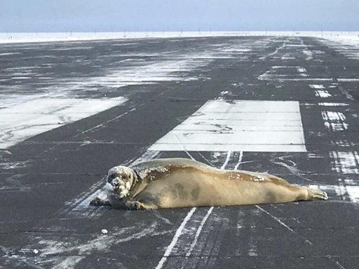 Seal on Runaway Alaska_480603