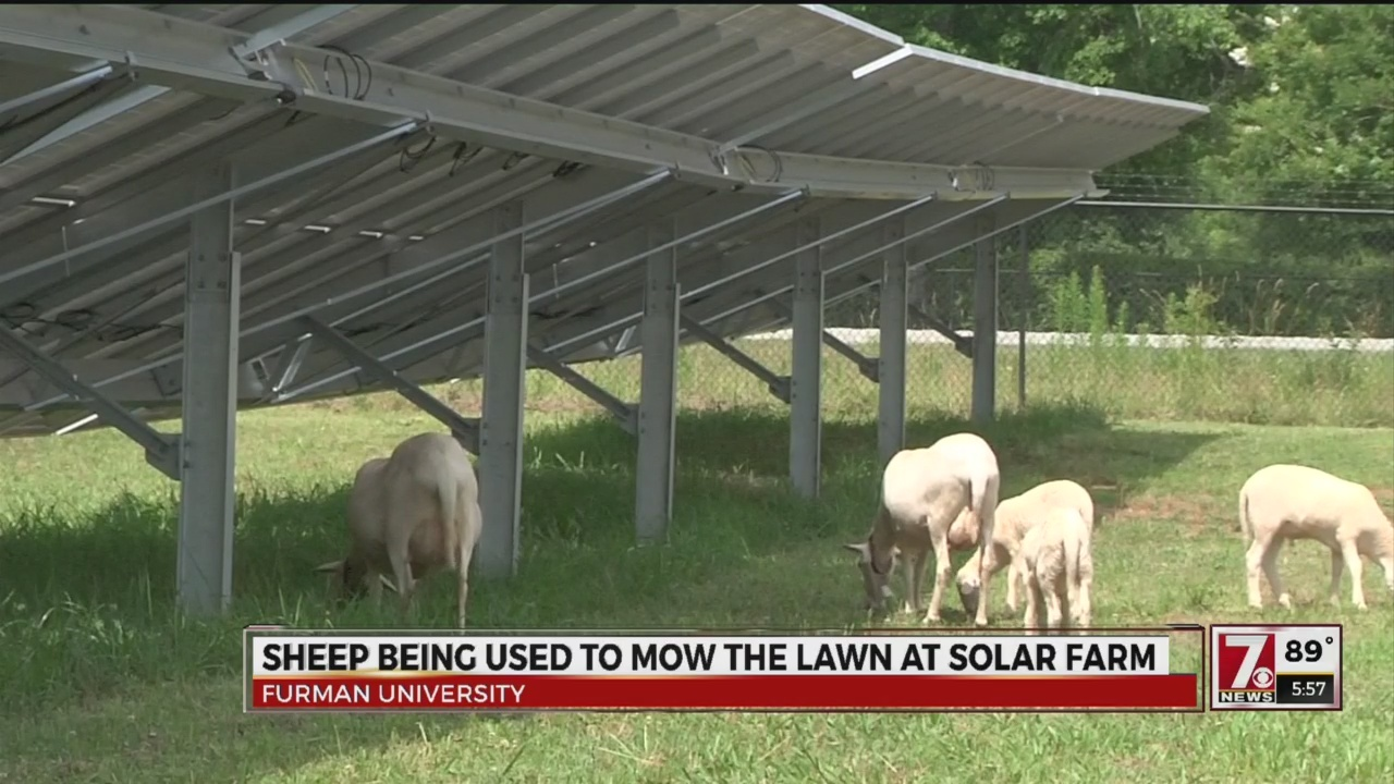 Sheep Mowing Lawn at Furman Solar Farm