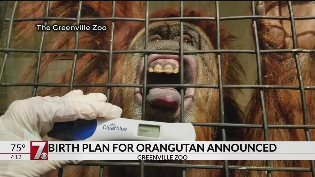 Greenville Zoo announces plan for orangutan birth