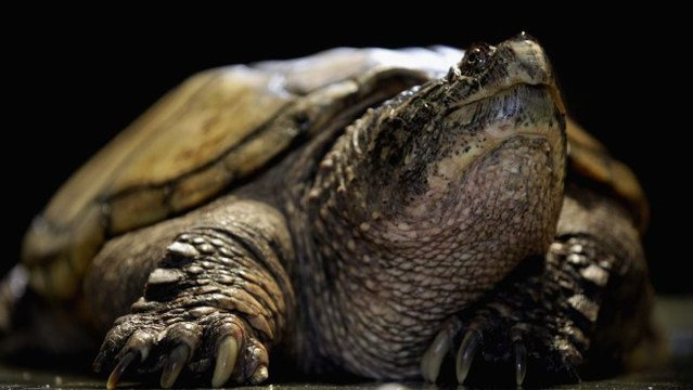 snapping-turtle_1521236183624_37468656_ver1.0_640_360_1531303977347.jpg