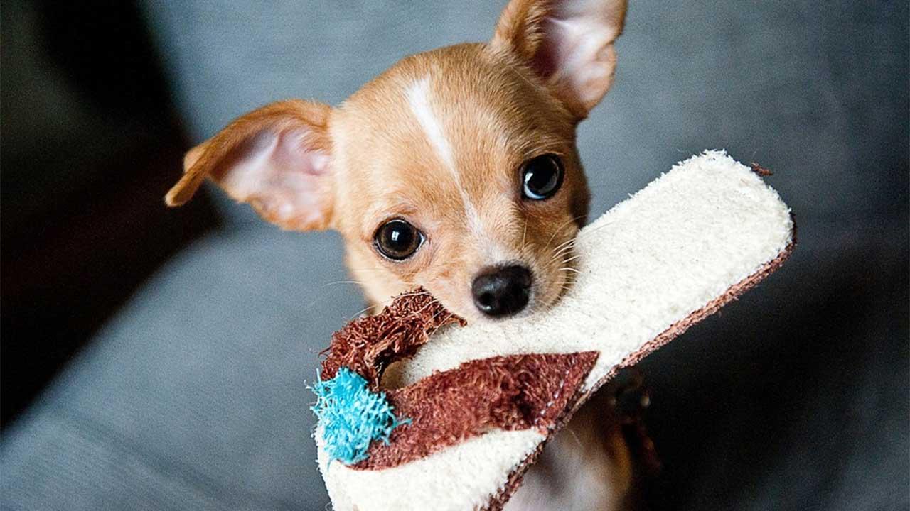 puppy dog generic