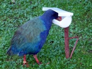 Takahe feeding