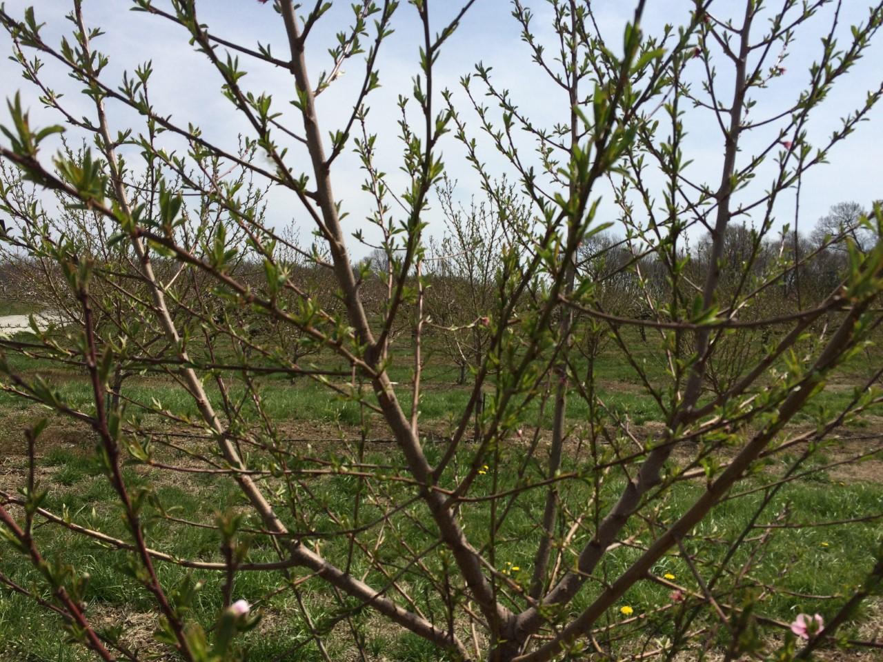 peach tree 2_274436