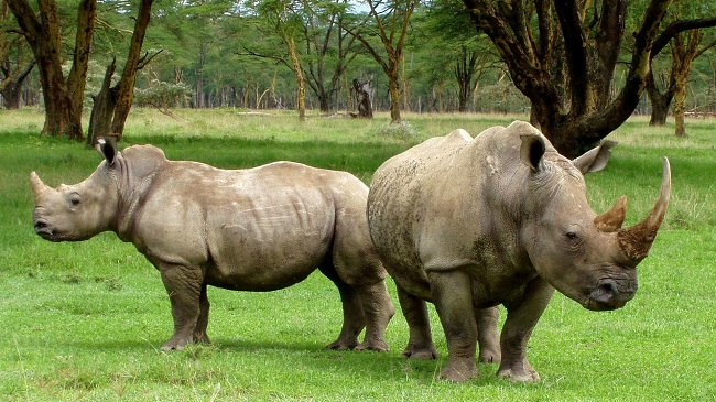 rhino_345527