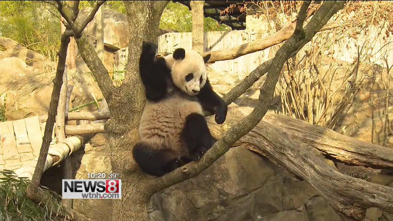 Panda express: Bao Bao on nonstop flight to China