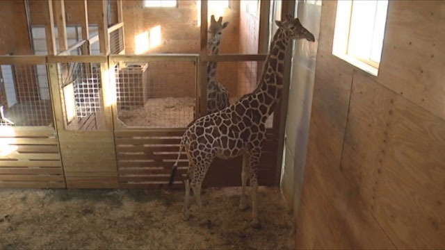 April the Giraffe_403903