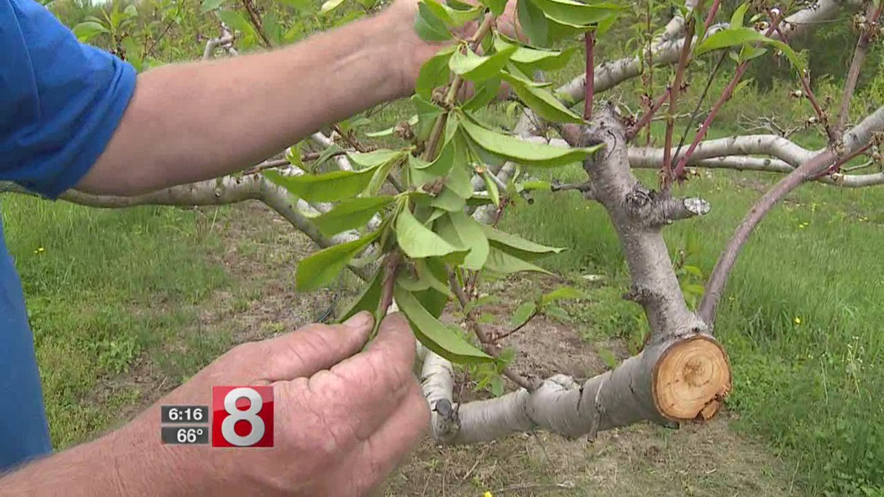 Will the peaches be lost again this summer?
