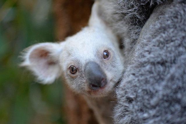 2017-08-22-Australia-Zoo-Baby-Koala_513037