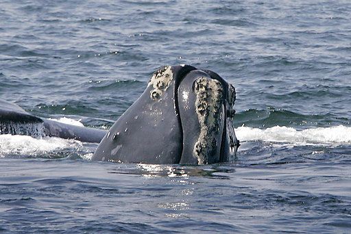 Right Whale Deaths_509387