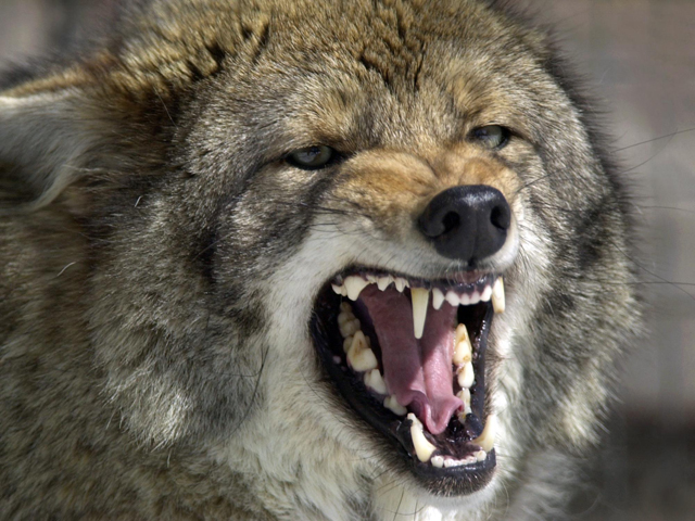 coyote generic_510736