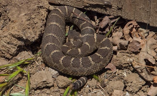 Northern Pacific Rattlesnake (Crotalus oreganus oreganus)_172328