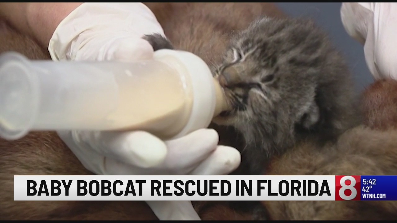 Florida man rescues baby bobcat