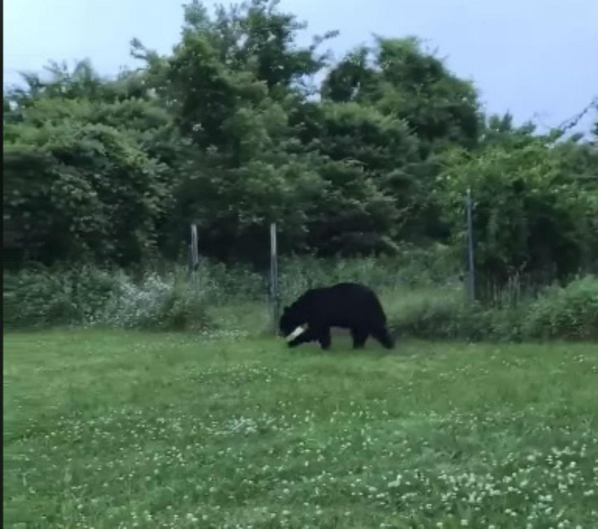 black bear_1561111252813.jpg.jpg