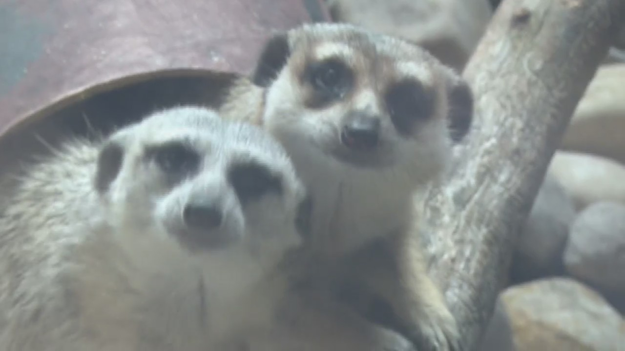 Animals_up_Close__Meerkats_0_20180821233521