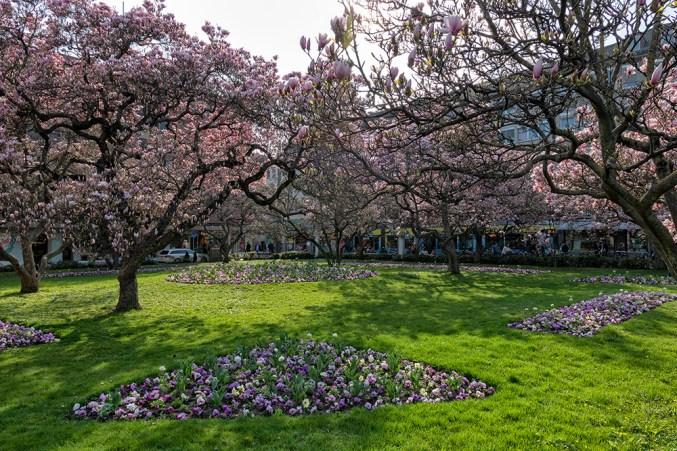 Magnolienblüte im Kaisergärtchen vor dem Hauptbahnhof.