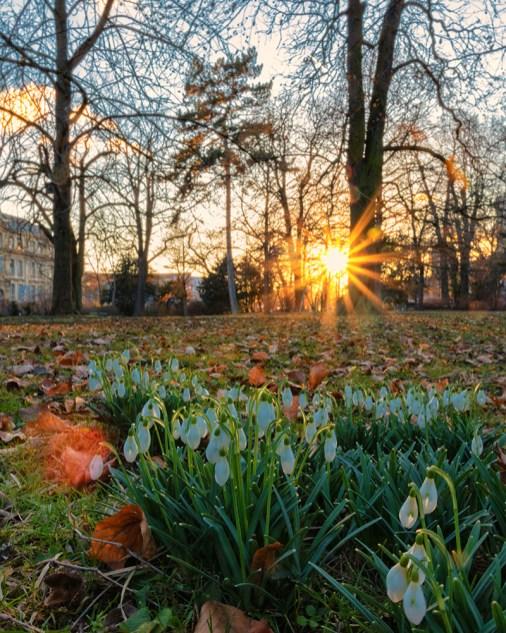 Ein paar zarte Frühlingsboten Ende Februar im Würzburger Ringpark. Die Schneeglöckchen sind da!