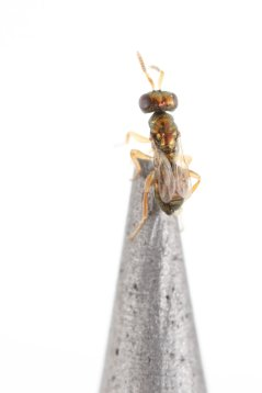 Nasonia vitripennis male on a lead pencil