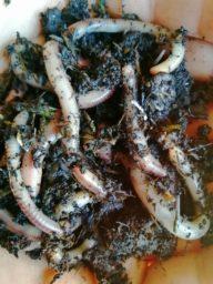 Futterwürmer