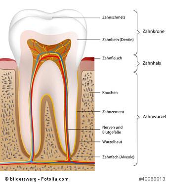 Karies - Zahnaufbau