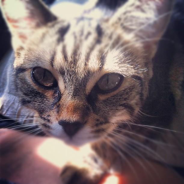 cat, eyes, ash, wuthering bites, cute
