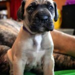 Finding A Great Dane Breeder Finding A Great Dane Puppy Willamette Valley Great Dane Club