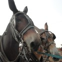 Meade County Fair Draft Horse & Mule Show Results