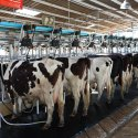 Dairy Farmers Face Contract End