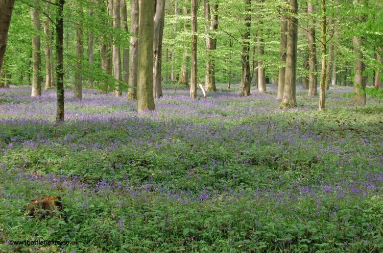 Bluebells in Delville Wood