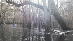300x169 Check, in Alapaha deadfalls, by John S. Quarterman, for WWALS.net, 17 January 2015