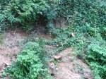 Closeup, Japanese climbing fern, 31.0236664, -83.4716339