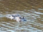 Gator coming this way