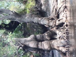 Big tree 30.5415467, -82.7190117