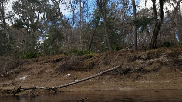 Tree knocked down by Sabal Trail, Hamilton County (right) bank, Suwannee River,