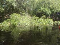 Leaves in water 30.5190850, -82.7247750