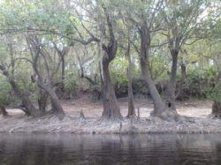 Performing trees closeup 30.5121783, -82.7161850