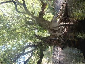 Triple tree portrait 30.5625950, -82.7228880