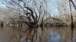 Gnarled oak 31.0637800, -83.0465365