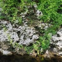 Japanese climbing fern