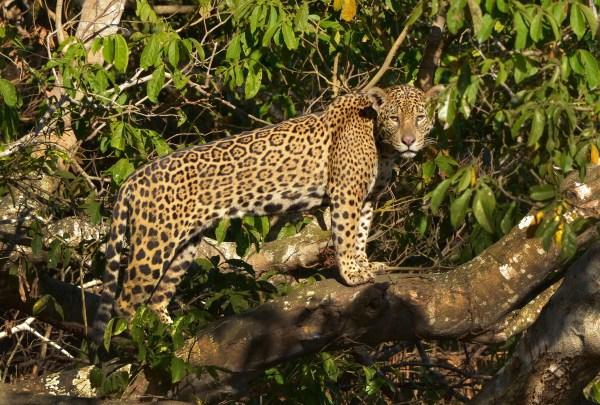 Amazon Rainforest Jaguar