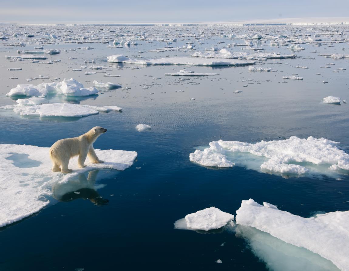 hight resolution of polar bears are classified as marine mammals