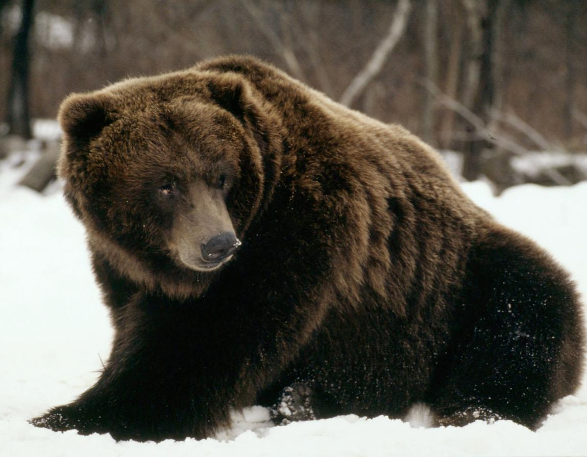 hight resolution of grizzly polar bear hybrids exist