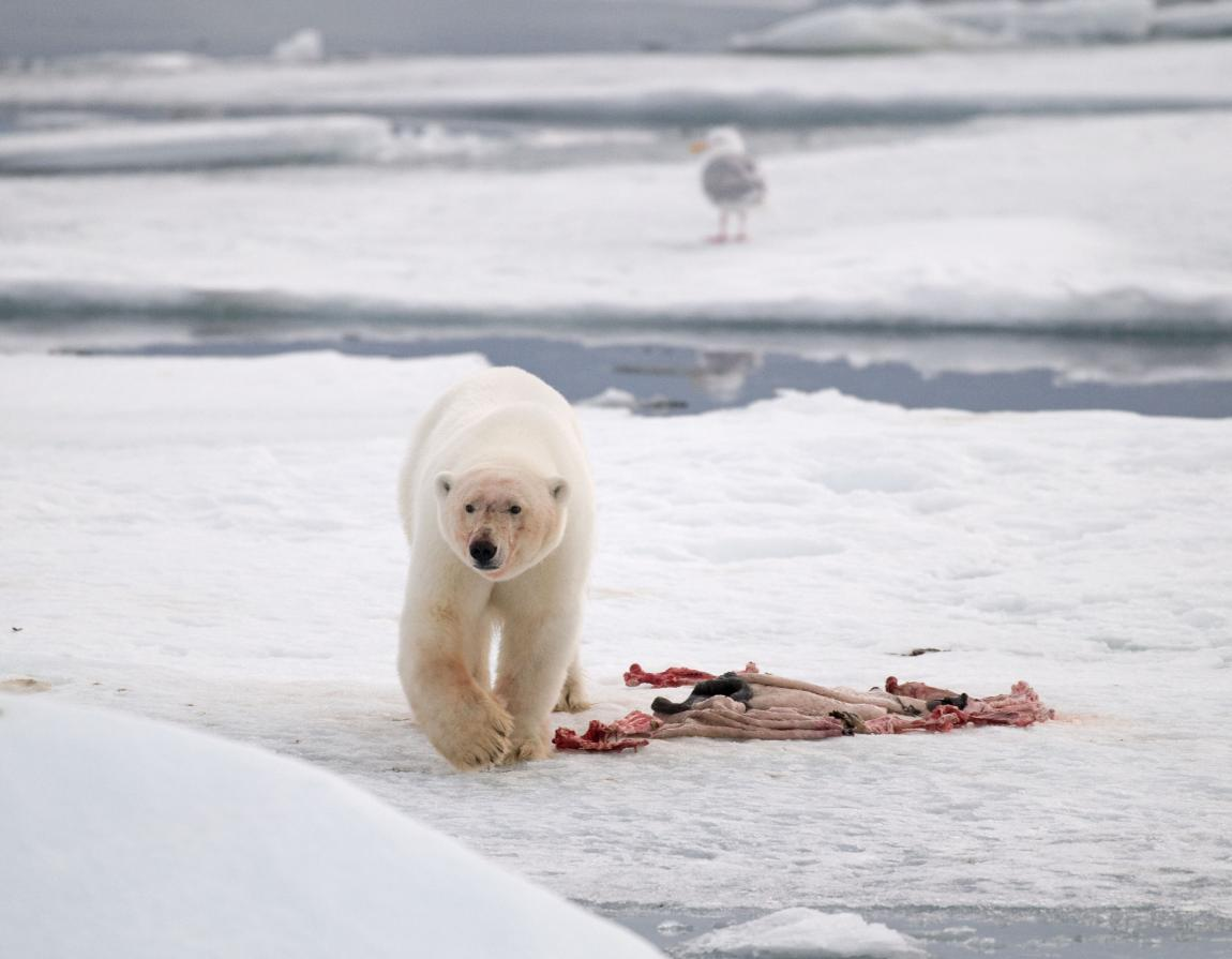 although about half of a polar bear s life is spent hunting for food their hunts are rarely successful polar bears main prey consists of ringed seals and  [ 1150 x 895 Pixel ]