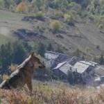 LUPI Val Chisone ott2010 018 (4)elaborata da Enzo Cornaglia